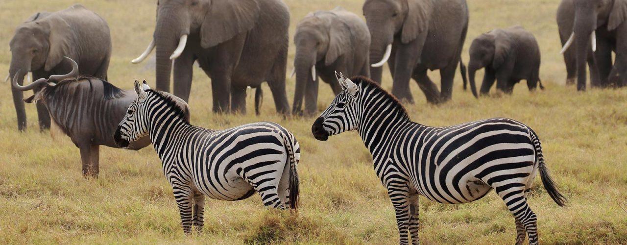 amboseli-zebra-elephants
