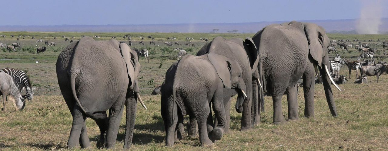 head_amboseli_elephants