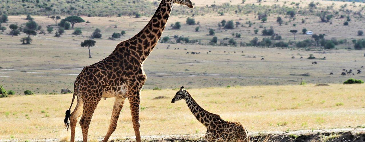mara-giraffe