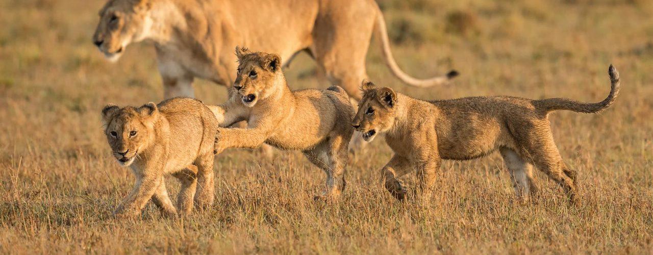 mara-lion-cubs