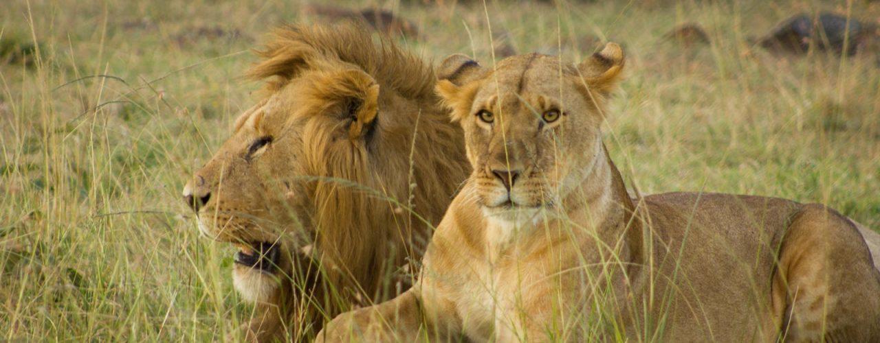 Kenya's Wild cats africa Safari