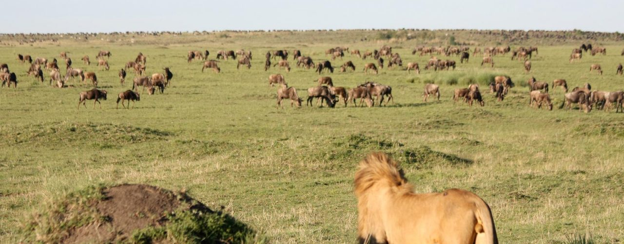 The great migration lion steak out in Mara