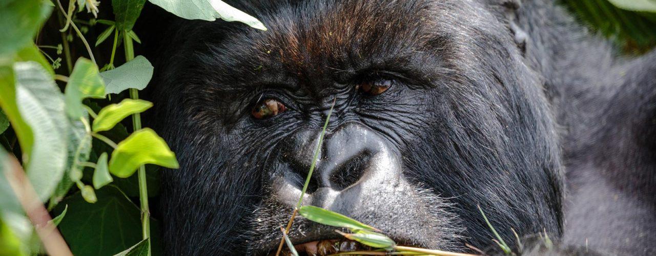rwanda-gorilla-volcanoes-silverback