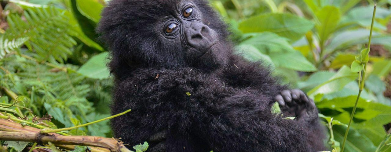 Mountain Gorillas, Nile Source & Mara Africa Adventure