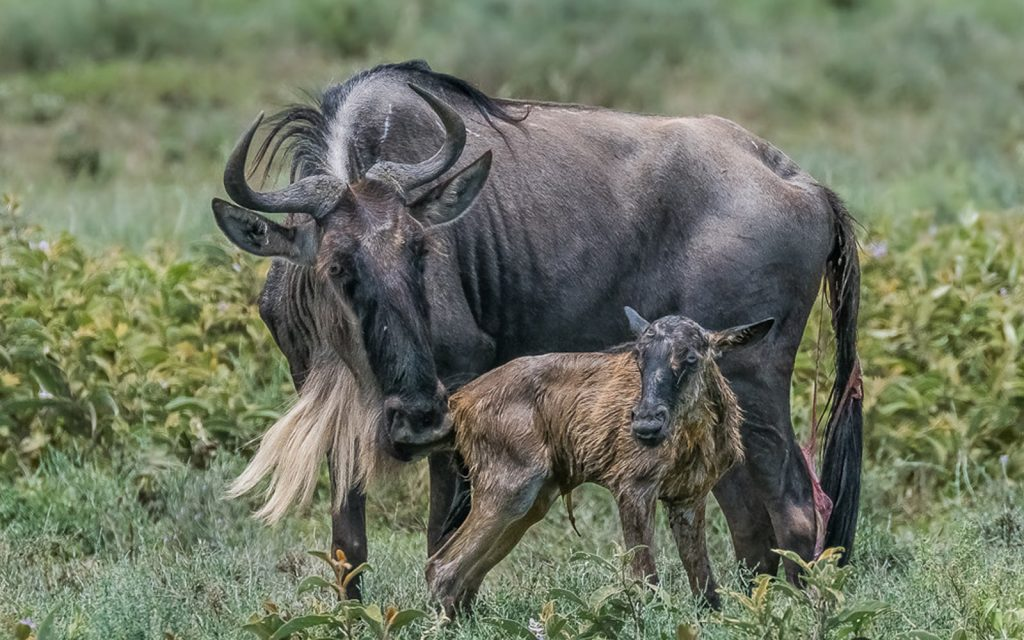 Beginning of a new life of survival in serengeti