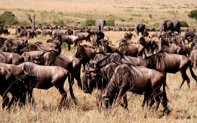 Wildebeest Migration in Masai Mara