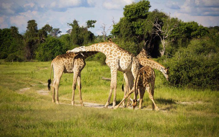 Safari Game Drives in Chobe