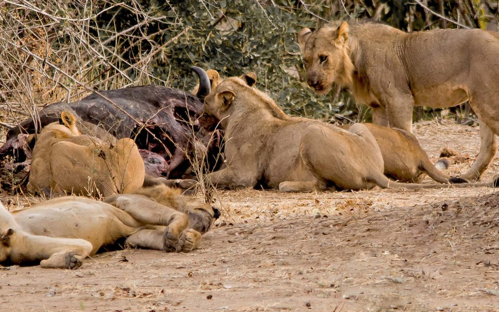 Lion tracking in Mana Pools National Park