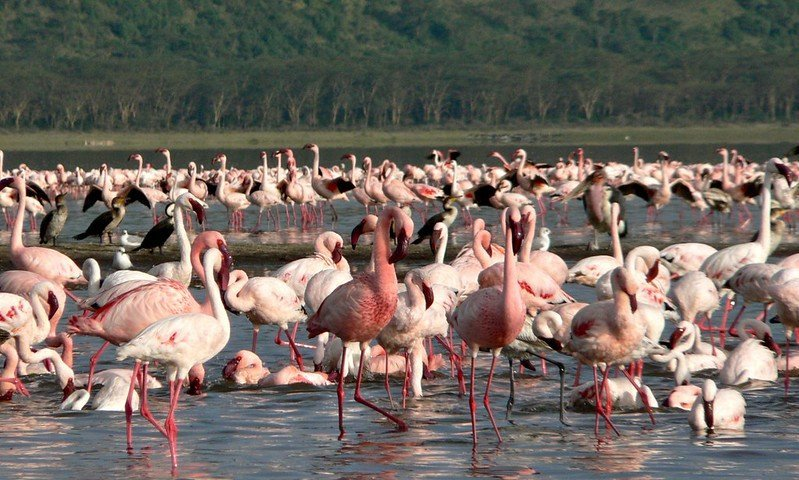 birds in lake nakuru national park